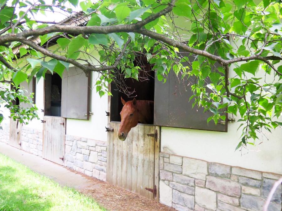 谷口牧場の厩舎から顔を出す馬の写真